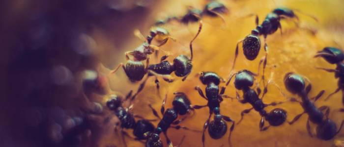 ants eating