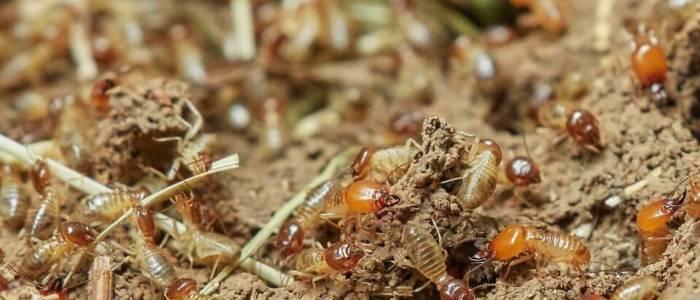 termites in the open