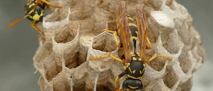 wasp nest image